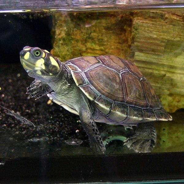 Podocnemis unifilis (Yellow-spotted Amazon River Turtle) by Obsidian Soul