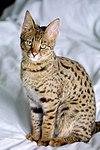 Savannah Cat portrait.jpg