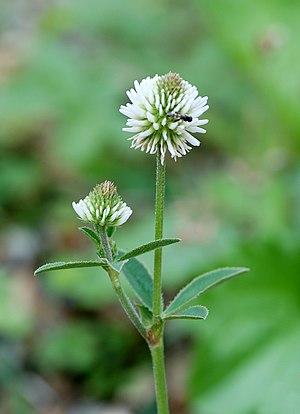English: Trifolium montanum. Jardin des Plante...