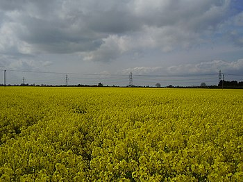 English: A field of Oil Seed Rape