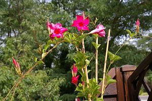 Dipladenia flower Français : Dipladenia
