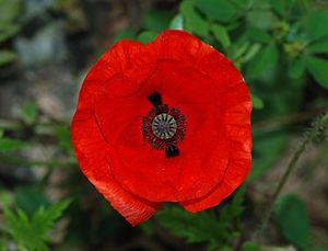Flower of a Poppy (Papaver rhoeas)
