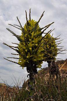 Puya chilensis 02