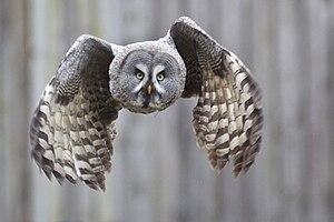 English: Great grey owl (Strix nebulosa). Deut...