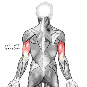 A translated version of Image:Triceps brachii.png