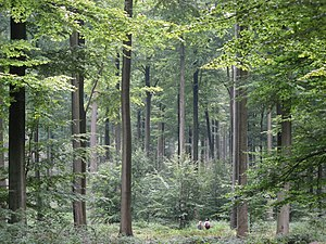 even, dense and old stand of beech trees (Fagu...