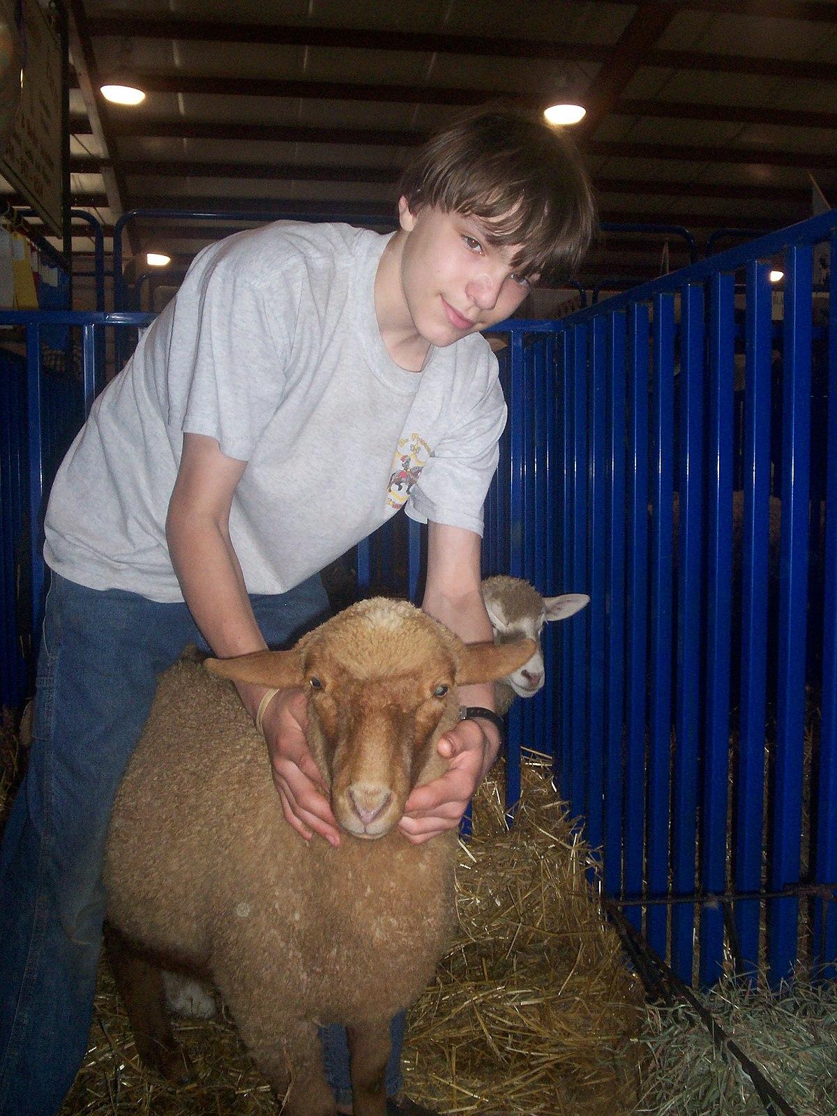 Tunis Sheep Wikipedia