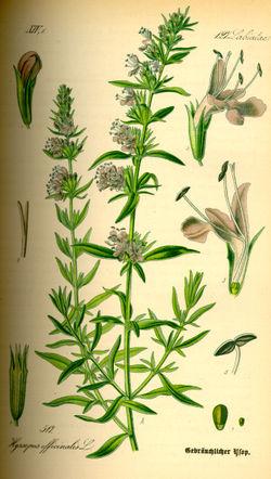 Hyssopus officinalis