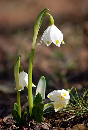 Spring Snowflake (Leucojum vernum