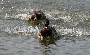 Anas platyrhynchos Male Mallards in a water ch...