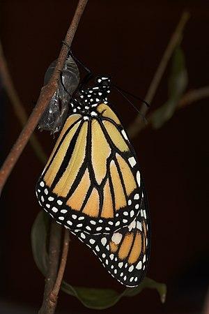English: A monarch butterfly (Danaus plexippus...