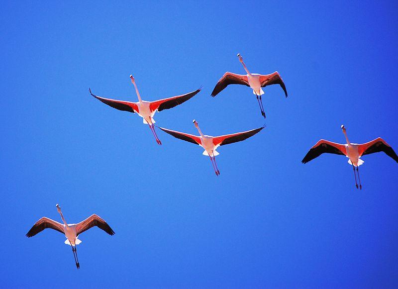 Datei:Phoenicopterus roseus.jpg
