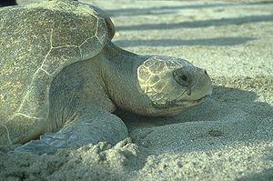 Meeresschildkröte bei Eiablage, Pazifik, Puert...