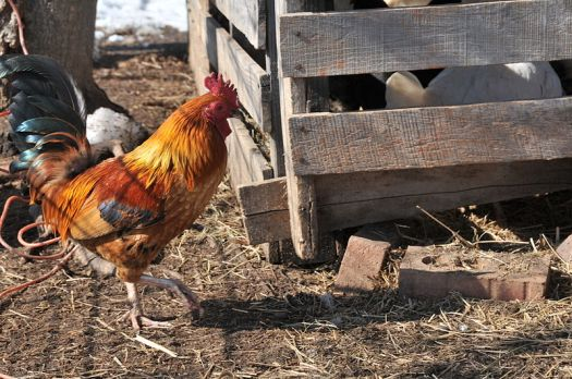 Asheville Farm Photography - Little Red Old English Rooster