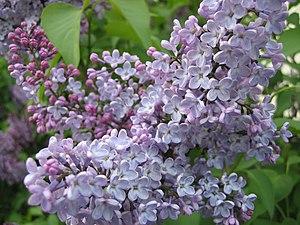 lilac Syringa vulgaris in bloom