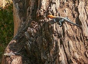 Agama agama, parc de samburu, Kenya (2007)