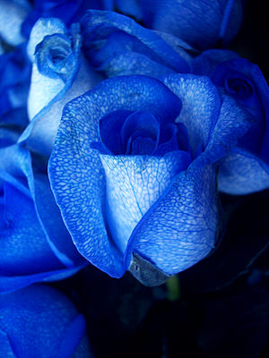 An artificially coloured rose. A white rose is...