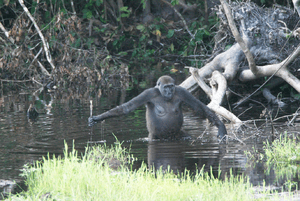This adult gorilla uses a branch as a walking ...