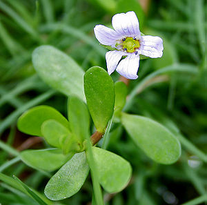 English: Bacopa monnieri (syn. Bramia monnieri...