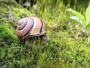 Cepaea nemoralis on moss, hiding. Polski: Wstę...