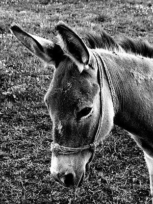 Donkey LJ