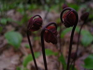 English: Photo of fiddleheads emerging in the ...