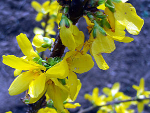 Forsythia × intermedia flowers close up Dehesa...