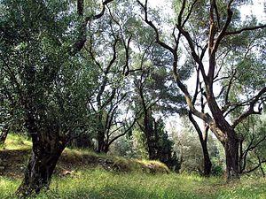 Deutsch: Olivenbäume (Olea europaea ssp. europ...