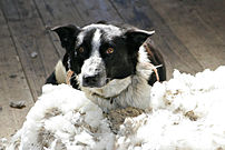 A sheepdog taking a break in some wool, Victor...