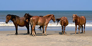 Five of the wild Spanish Mustangs in Corolla, ...