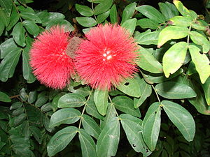 English: Calliandra haematocephala (flowers an...