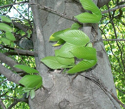 American Beech (Fagus grandifolia) bark and foliage