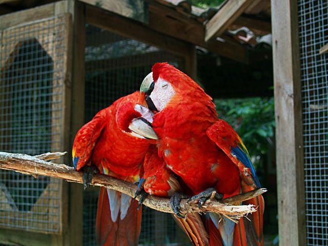"""Image result for scarlet macaw for sale near me"""""""