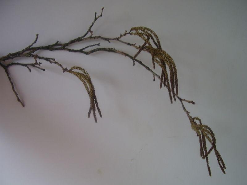 File:Corylys colurna r5.jpg