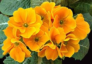 Over 500 species comprise the genus Primula; t...