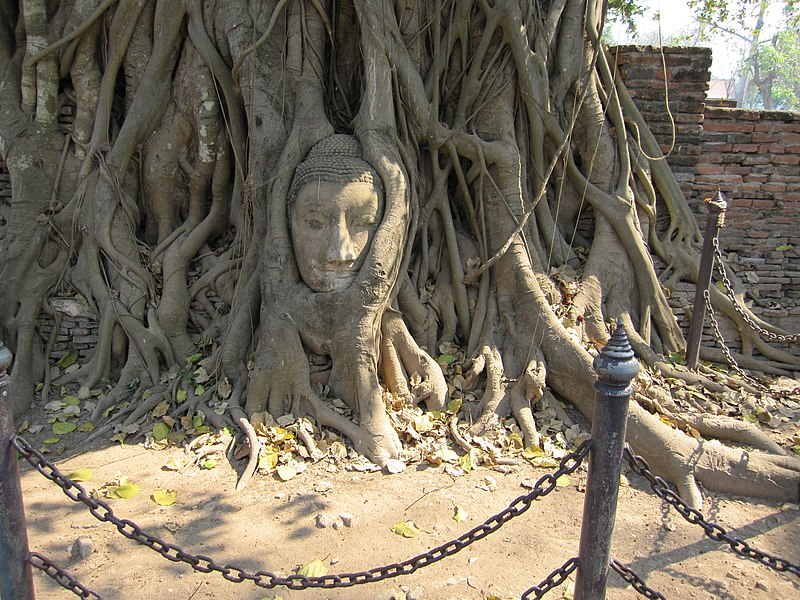 Buddha head in tree roots