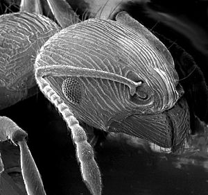 An ant as imaged using a scanning electron mic...