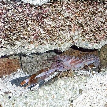 Pistol shrimp (Alpheus distinguendus)