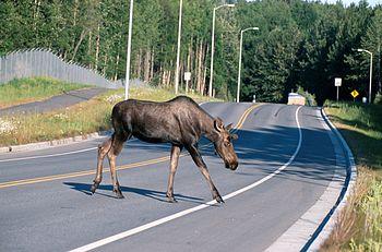 Moose (Alces alces) crossing a road, Alaska, USA