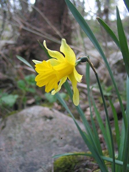 File:Narcissus asturiensis.jpg