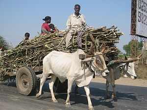 English: Sugar cane on a bullock cart, Maharas...