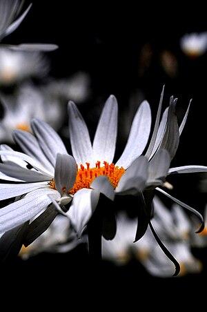 Wind on a daisy