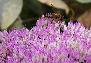 English: Honey Bee on Sedum Up until around a ...