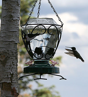 English: Hummingbird hovering at a feeder