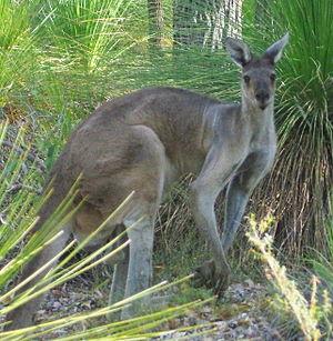 English: Western Grey Kangaroo (Macropus fulig...