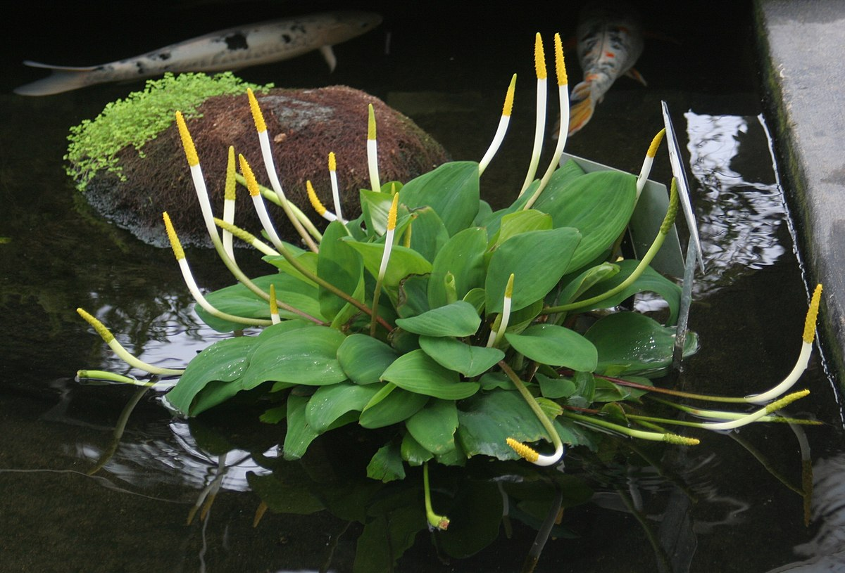 Aquatic Plants Small Ponds