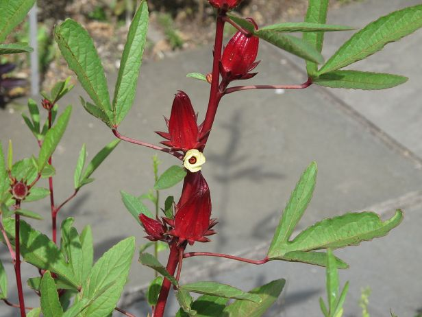 Roselle, Hibiscus sabdariffa, 2014 01.JPG