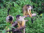 Squirrel monkey3.JPG