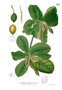 Ketapang, Terminalia catappamenurut F.M.  Blanco, Flora de Filipinas