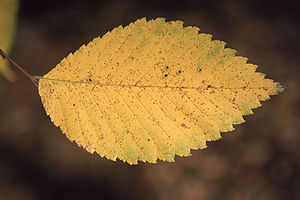 Ulmus rubra leaf in fall